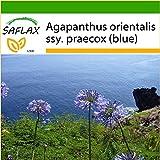 SAFLAX - Agapanthe - 50 graines - Avec substrat - Agapanthus orientalis ssy. praecox (blue)