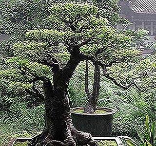 Amazon Com Bonsai Tree Zone 3 Plants Seeds Bulbs Gardening Lawn Care Patio Lawn Garden