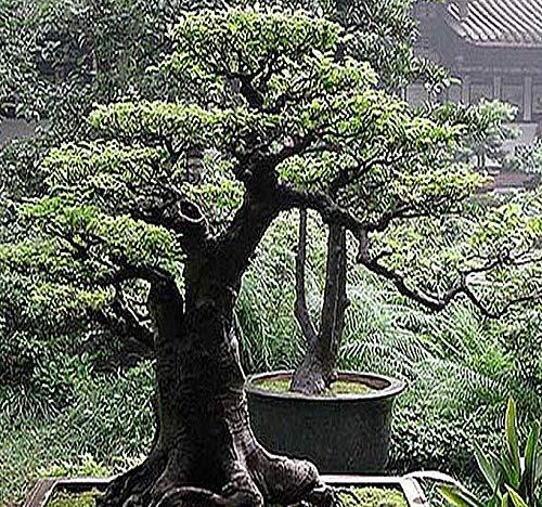 Big Pack Bonsai Tree Seeds - Japanese RED Pine Tree (150 Seeds) - Pinus densiflora Pine Tree Seeds - Non-GMO Seeds by MySeeds.Co (Big Pack - Japanese Red Pine)