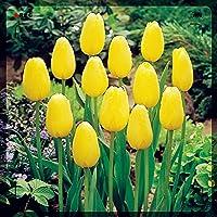 庭用のチューリップ球根,チューリップの球根,一年中鉢植えチューリップは永遠の愛を象徴しています,高貴でエレガントなチューリップ,チューリップは耐寒性に優れています,観賞用花,完璧な切り花-10球根,1