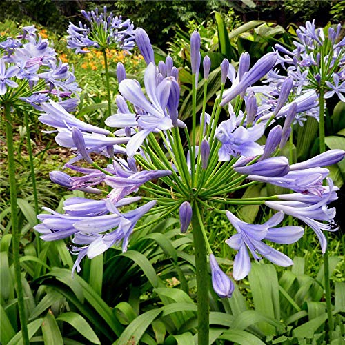 TENGGO Egrow 30 Teile/Paket Agapanthus Lilie Blumensamen Agapanthus Africanus Blumensamen Hausgarten Dekoration
