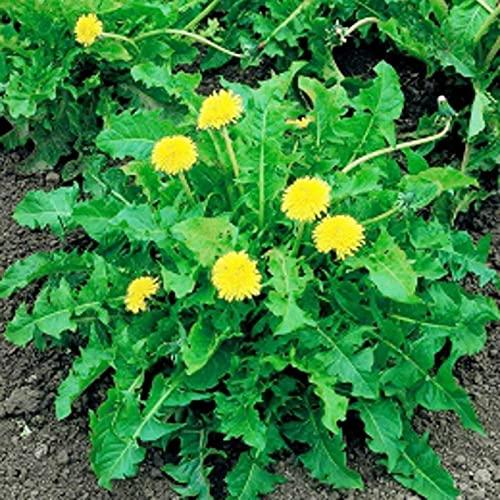 Semillas de Flores-50Pcs / Bag Semillas de diente de león Heirloom Prolific White Easy Plant Taraxacum Mongolicum Semillas para el hogar - Semilla