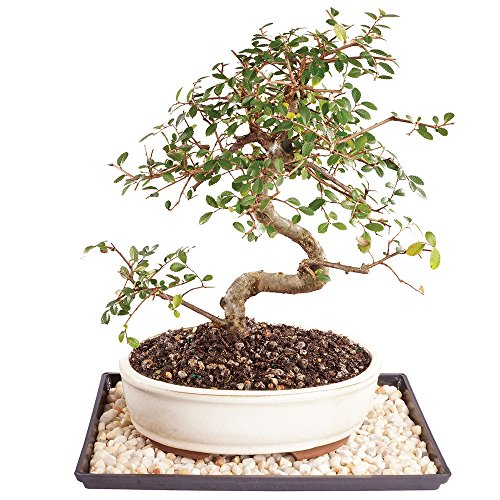 Brussel's Live Chinese Elm Outdoor Bonsai Tree - 9 Years Old; 10' to 14' Tall with Decorative Container, Humidity Tray & Deco Rock