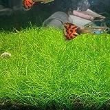 Aquarium Grass Plant Seeds Water Grasses Random Dwarf Aquatic Plant Grass Seeds Indoor Plant Seeds...