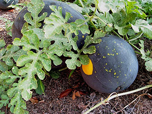 Bobby-Seeds Melonensamen Moon and Stars Red Wassermelone Portion