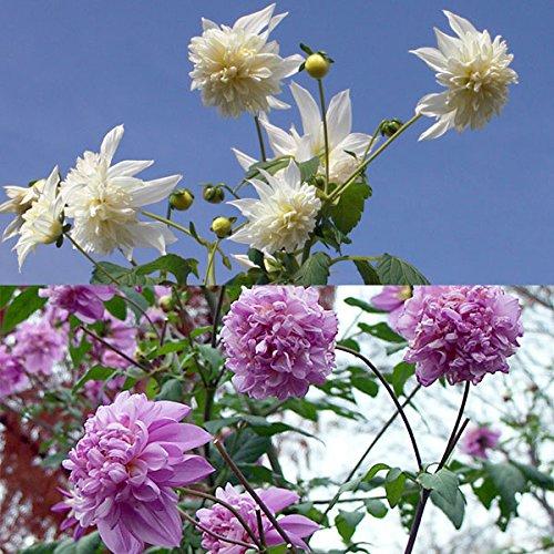 皇帝ダリア(八重咲き):ホワイトとピンク3.5号ポット2種セット[コウテイダリア][インパクトプランツ]