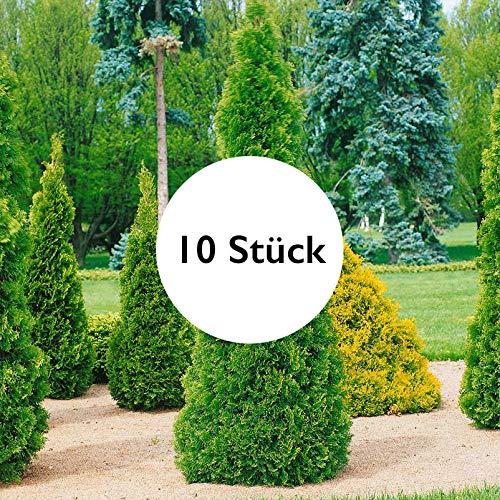 Pflanzen Kölle 10er-Set Heckenkonifere Thuja occidentalis Smaragd, Höhe 20-30 cm, im 2 Liter Topf