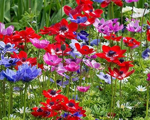 100 Stück Anemonen Mix de Caen Blumenzwiebeln Gr.6/7 Knollen mehrjährig - SAISONWARE - NUR KURZE ZEIT ERHÄLTLICH (100 Stück)