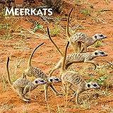 Meerkats - Erdmännchen 2021 - 16-Monatskalender: Original BrownTrout-Kalender [Mehrsprachig] [Kalender] (Wall-Kalender)