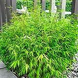 2X Fargesia Rufa   Bamboos   Ornemental Grasses   Height 30-60cm   Pot Ø 13cm