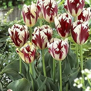 25 Bulbs Tulip Triumph Grand Perfection