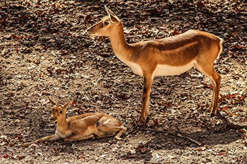 Gazelle Impala Mutter Antilope Afrikanisches Kalbtier 1.000 Puzzleteile Für Kinder Fordern Die Gehirnleistung Heraus