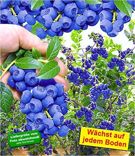 BALDUR-Garten Trauben-Heidelbeere \'Reka® Blue\' Blaubeeren Heidelbeeren Pflanze, 1 Pflanze Vaccinium corymbosum reichtragend