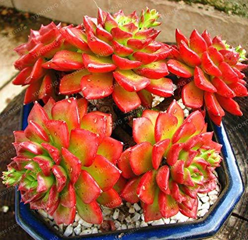 ScoutSeed Semillas de cactus Sedeveria Sedeveria Letizia Lotus Lithops Flor Flores 100 Pcs S