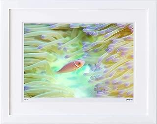 【写真工房アートフォト 額装写真】 ハナビラクマノミ/コスラエ島/ミクロネシア(ホワイト 大判サイズ 557mm×442mm)