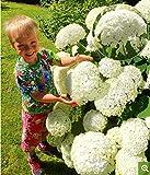 Kisshes Seedhouse - 20pcs graines de hortensia annabelle L'hortensia à grandes fleurs résistant au froid