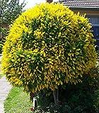 ASTONISH I semi della confezione: Spartium junceum, ginestra 40 semi Da Moldova