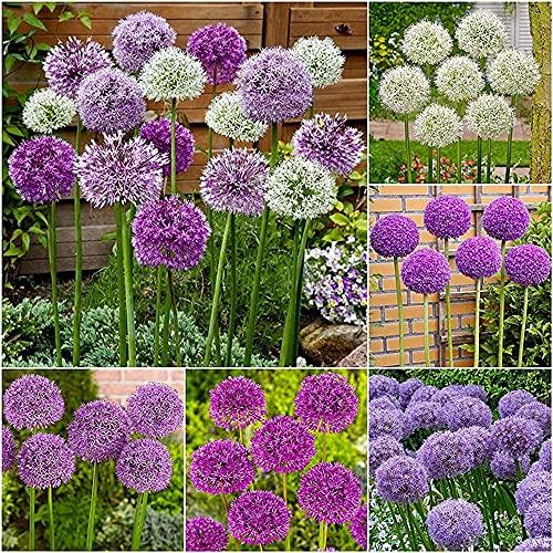 12 Stück gemischte Allium-Zwiebeln Mehrjährige Blumenzwiebel Blühende bunte Blumen Geeignet für die Dekoration von Familiengarten Steingarten Einfacher Anbau