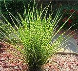 Miscanthus sinensis Zebrinus | Zebra Grass | 20_Seeds