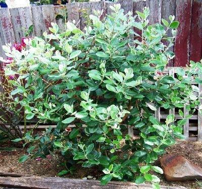 500 semillas de guayaba piña árbol, Feijoa sellowiana