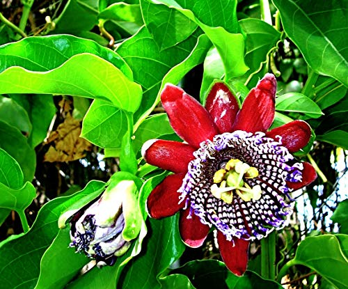 10 Königsgranadilla Samen, Riesengranadilla, Passiflora quadrangularis, sehr exotisch