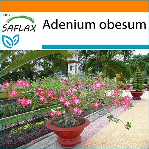 SAFLAX - Garden in the Bag - Rosa del desierto - 8 semillas - Con sustrato de cultivo en un sacchetto rigido fácil de manejar. - Adenium obesum