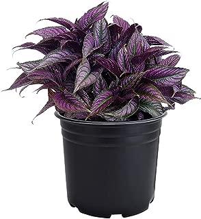 AMERICAN PLANT EXCHANGE Persian Shield Stunning Ornamental Houseplant Live Plants, 6