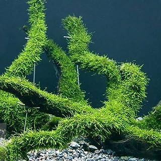 (水草)育成済 ウィローモス 流木 Lサイズ(無農薬)(3本) 本州・四国限定[生体]