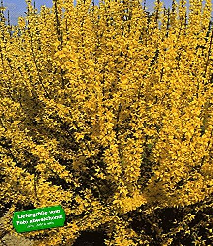 BALDUR Garten Forsythie,1 Pflanze Goldglöckchen Goldflieder (Forsythia)