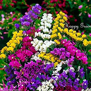 HOT - Statice - Dry - Mixed Colors - 250 Seeds - SEA Lavender - Limonium sinuatum