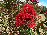 Bundle of 4 Dynamite Crepe Myrtle Trees - DEEP RED Blooms - Quart Containers - FIBROUS Root System - Grown by Crape Myrtle Guy - Live Plants - 1 Foot Tall