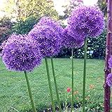 100 púrpura gigante Allium giganteum Semillas hermoso jardín de flores de la planta de la tasa de 95% en ciernes flor rara para niño jardín de Borgoña planta