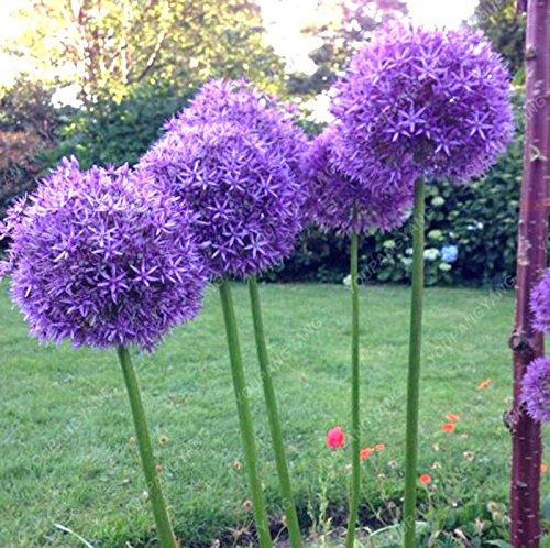 100 Violet géant Allium Giganteum Belle Graines de fleurs Jardin des plantes en herbe le taux de 95% fleur rare plante enfant jardin Bourgogne