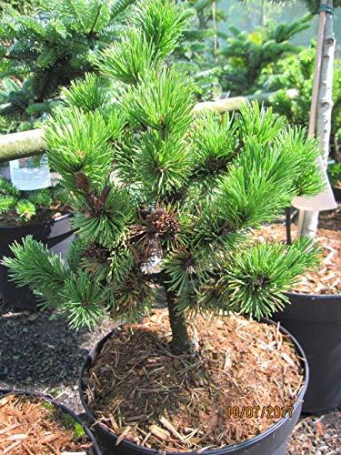 Pinus mugo Peterle - Zwergkiefer Peterle