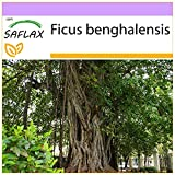 SAFLAX - Baniano - 20 semi - Ficus benghalensis