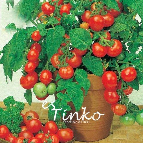 150pcs Bonsai Les graines de tomates cerises Mini pot sucré de fruits légumes Graines Arbre de tomates fraîches bio