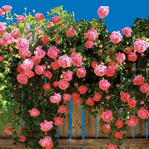 Begorey 100 Stück Kletterrosen Samen GartenClematis Winterhart Mehrjährig Bunte Blumensamen Kletterpflanzen für Garten, Wände, Zäune,Rosenbögen
