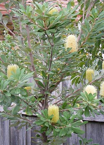 Leucospermum glabrum Tropica - 5 Samen Pincushion-Protea Proteen und Banksien