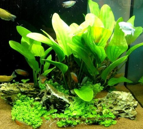 Mühlan - Wasserpflanzensortiment Amazonas, südamerikanisch, grüner Aquarienpflanzen Dschungel inkl. Dünger