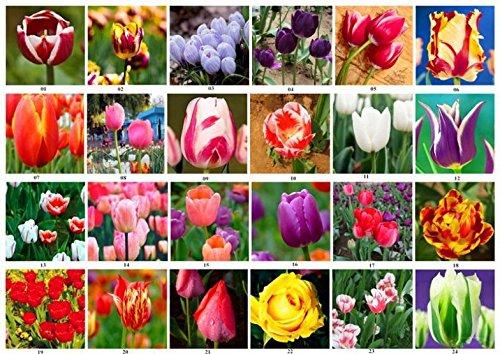 100pcs HOT-Regenbogen-Tulpe-Samen Seltene Blumen-Samen Stauden Bonsai Pflanze Geschenk für Hausgarten-Hof Verschönern
