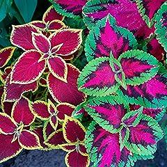 200+ Rainbow Coleus Seeds for Flower Pot Coleus Blumei Plant Seeds