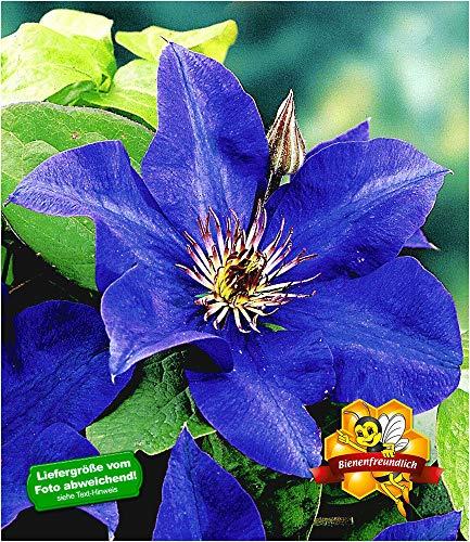 BALDUR-Garten Blaue Clematis 'The President' Waldrebe winterhart, 1 Pflanze Klematis mehrjährige blühende Kletterpflanzen