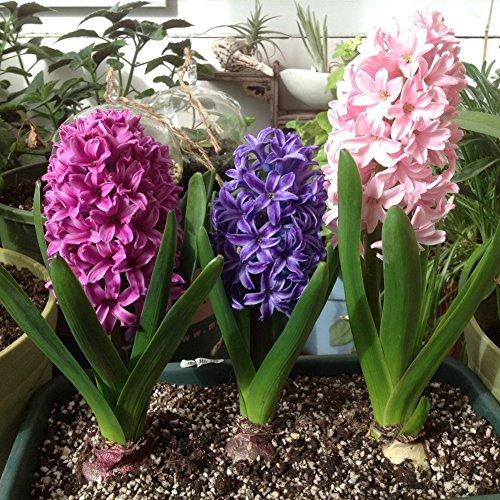 Multicolor Hyazinthe Samen, Wongfon Topf Bonsai Blumensamen DIY Hausgarten Balkon Pflanzen