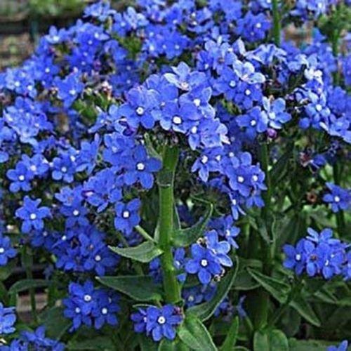 Vipérine (Anchusa capensis) Les graines de Blue Angel