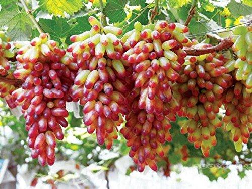 graines de gros Green Grape fruit doux et délicieux raisins de fructification bonsaïs Villa 100 graines/Pack 3