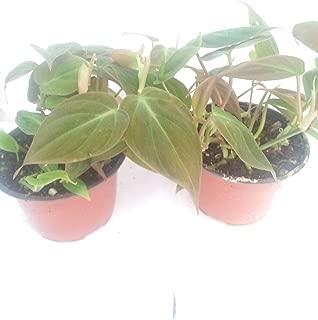 Two Velvet Leaf Live Plant Bronze Micans Vine 4