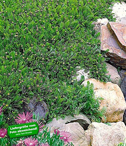 BALDUR-Garten Winterharter Bodendecker Fiederpolster statt Rasen, 3 Pflanzen Cotula squalida