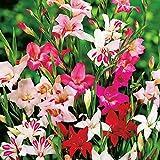 Mix 5x Bulbos de gladiolos Flores plantas Bulbos de flores baratos Planta natural Gladiolus bulbos Nanus