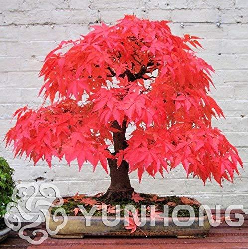 Bloom Green Co. Pianta in vaso bonsai 100% vera pianta di acero rosso Bonsai giapponese, 20 pc/pacchetto, molto bella Albero coperto: 3