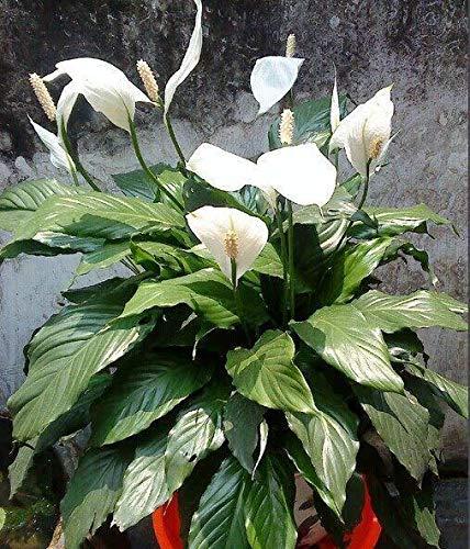 Qulista Samenhaus - 50pcs Grün einblatt zimmerpflanze Spathiphyllum Bonsai Saatgut Luftreinigende Pflanzen Blumensamen mehrjährig winterhart für Garten/Schlafzimmer